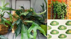 With leaves shaped like deer antlers, the staghorn fern is one part plant, one part trophy art. It's flora imitating fauna! As an epiphyte, this plant grows against structures — …