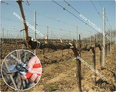 Reguli de baza in TAIEREA Vitei de Vie in uscat | Horticultorul.ro Cabernet Sauvignon, Pinot Noir, Plant, Wine