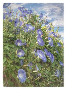 Blue Morning Glories Backyard Garden Fort Worth Texas saeq11