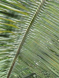palm in Kew Gardens