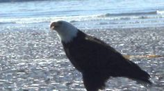 What sound does the Bald Eagle make?
