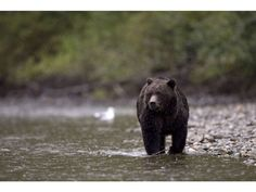When logging rates are set too high, there are often devastating impacts on wildlife, such as bears.