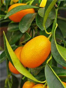 Picking Kumquats - Tips On Harvesting A Kumquat Tree in Fruits, Edible Gardens Indoor Fruit Trees, Potted Trees, Potted Plants, Indoor Plants, Kumquat Tree, Citrus Trees, Citrus Fruits, Hydroponic Gardening, Hydroponics