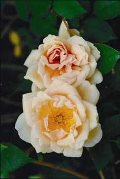 """Reve d'Or -  French for """"dream of gold"""", 10-18 feet tall, nearly thornless, repeat fragrant blooms of medium yellow"""