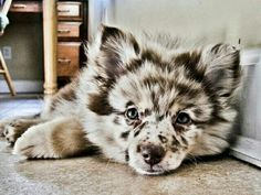 ♡Pomsky...sooo stinkin cute! Its full grown and small puppy size. I sooo would love to have one...but we already have 3 dogs and 2 foster dogs that visit from time to time♡