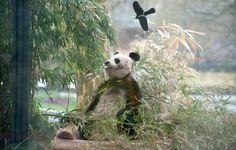 Der letzte Berliner Pandabär ist tot