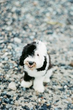 Sheepadoodle - even the name makes me smile