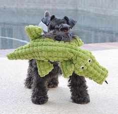 Ranked as one of the most popular dog breeds in the world, the Miniature Schnauzer is a cute little square faced furry coat. Schnauzers, Mini Schnauzer Puppies, Giant Schnauzer, Miniature Schnauzer, Toy Schnauzer, Schnauzer Grooming, I Love Dogs, Puppy Love, Cute Puppies