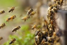 Honey Bees for Sale in Middle Tennessee. Organic bee management and no toxic chemicals used in raising honey bees. Best option for beginner bee keepers. Wild Bees, Corn Plant, Bee Farm, Save The Bees, Bee Keeping, Pest Control, This Is Us, Nature, Honey Bees