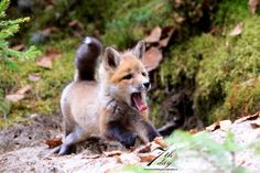 Everything Fox - This picture is so ridiculously funny/cute that I...