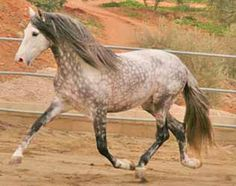 Spanish Horses Andalusian | Azteca (Andalusian x Quarter Horse)