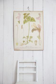 Oude Zweedse schoolplaat met een botanische afbeelding van een dovenetel. Is 'ie niet prachtig?
