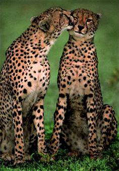 z- Cheetahs