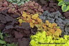Heuchera - for color in the shade garden