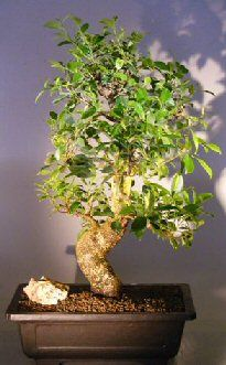RP: Ficus Retusa Curved Trunk Tiered Branching - Bayan Fig
