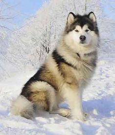 7 Breeds That Love the Cold Weather | WOOFipedia by The American Kennel Club