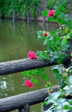 raccaryusui:  公園の柵に咲いていた薔薇の花。  http://aquieterstorm.tumblr.com/post/50486082057/raccaryusui