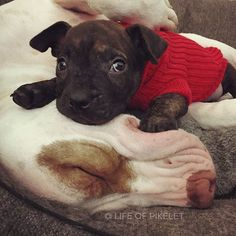Aw, Tater in his red sweater (with smoshy Patty Cake pillow)