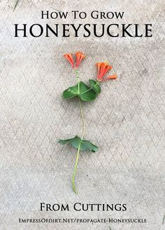 How to grow honeysuckle from cuttings