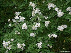 Rosa multiflora, japansk klätterros     Växtsättet är kraftigt och högt med bågböjda grenar. Man kan använda den som friväxande stor buske, i buskage eller som klätterros. Små, vita, ibland svagt rosatonade blommor i stora klasar, ger ett mycket sirligt intryck. Svag, fruktig doft.  4X4m  Suggested uses: Beds and borders, Cottage/Informal, Wallside and trellises    Cultivation: Plant in moist but free-drainin