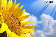 Sunflower over sunny sky background #123rf #sunflower #yellow