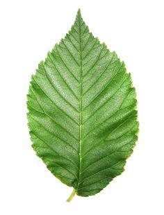 Jagged edged leaf.