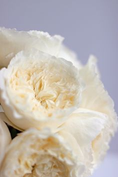 patience white garden rose guide to david austin roses