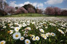 daisies in Villa Pamphili - Rome (our district!)