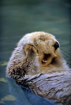 Otter, one of my VERY FAVORITE animals - Cutest Pic - 100% Animal Facts