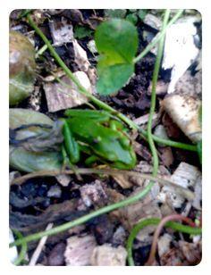 Little green frog in the veggie garden