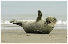 Un phoque souriant ( A Seal smiling)