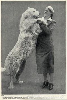 Great Pyrenees Original Vintage Pyrenean Mountain Dog And Lady Print 1934