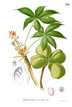 Sterculia foetida Blanco1.134 - Francisco Manuel Blanco, Flora de Filipinas - Wikimedia Commons