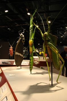 Museum Of Nature And Science Mantis