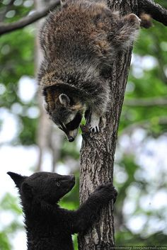 "Raccoon: ""Sorry Junior!  This is MY tree!  Find your own!""       (Photo By: Smit Smitty.)"