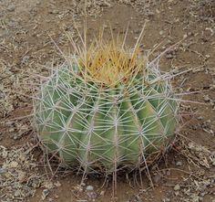 ferocactus alamosanus
