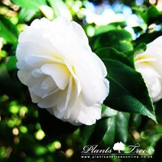 """Camelia Japonica """"Perfection White"""""""