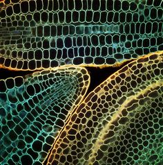 Look deep into nature art is all around us in patterns, textures, and color ~ Laser microscopy of plant embryos by Fernan Federici Patterns In Nature, Textures Patterns, Nature Pattern, Pattern Art, Science Art, Science And Nature, Foto Nature, Micro Photography, Abstract Photography