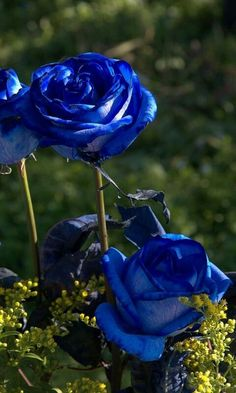 Blue Roses, I have never seen one this blue...
