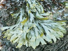 Bladderwrack seaweed is one of the most popular sea vegetables growing along the British Isles and has been used in that region of the world for centuries.  This brown sea plant is the #1 superfood as far as iodine and polysaccharide content.