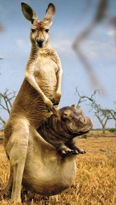 Dieren-Grappige-Nijlpaard-Kangoeroes
