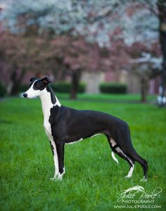 Black whippet by Julie Poole photography