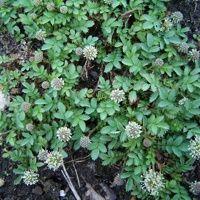 Vijver en Tuincentrum Pelckmans: Acaena buchananii