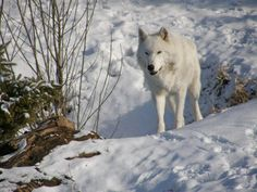 Arctic Wolf by Fictionary on DeviantArt