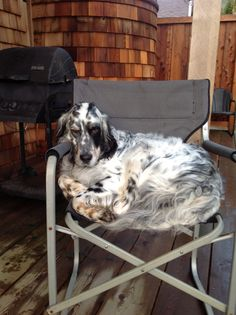 Must be a Engish Setter thing...mine loves to relax in a camp chair.