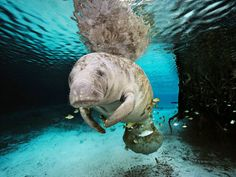 A manatee swims in a freshwater spring in Crystal River, Florida.