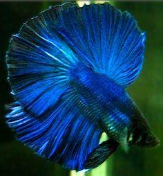 - Have you got a Friend who loves his fish more. Comet Goldfish, Betta Fish Types, Cool Fish, Beta Fish, Siamese Fighting Fish, Halfmoon Betta, Beautiful Fish, Exotic Fish, Tropical Fish