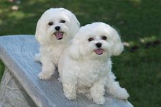 Indy and Abby Maltese puppies