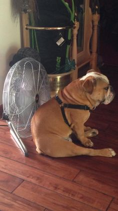 Chillin' ~ Hope he doesn't have typical English Bulldog gas! Funny Dogs, Funny Animals, Cute Animals, Animal Funnies, I Love Dogs, Puppy Love, Cute Puppies, Cute Dogs, Bulldog Puppies