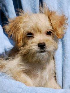 Petfinder  Adoptable | Dog | Maltese | Pawleys Island, SC | daphne